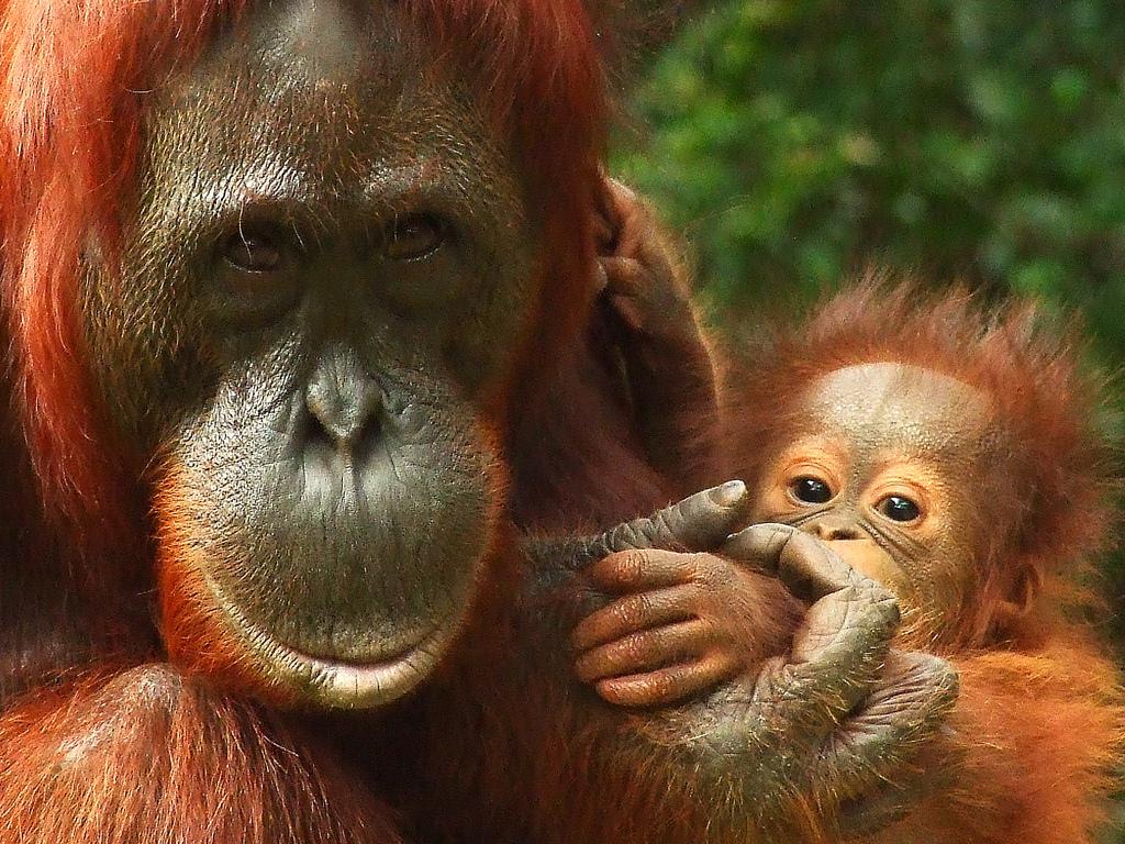 Say No To Palm Oil News Pics Videos Orangutans Men