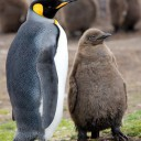 King penguin and chick (ref:SPL)