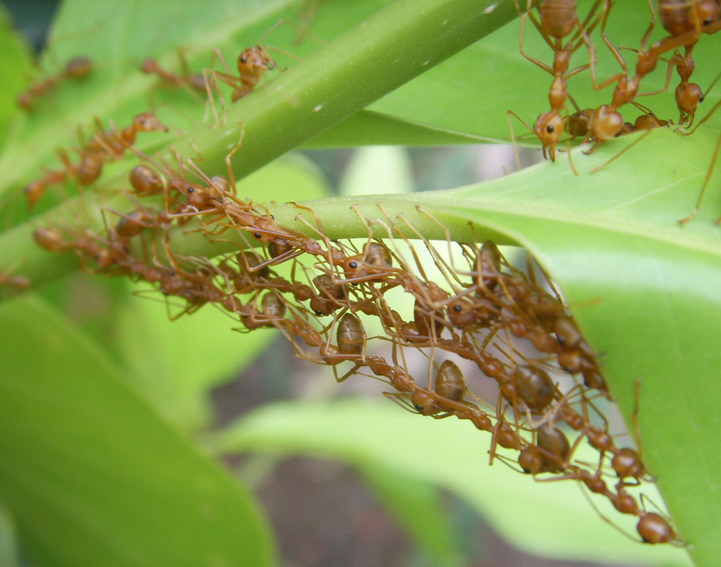 Weaver ants building a nest in Thailand.