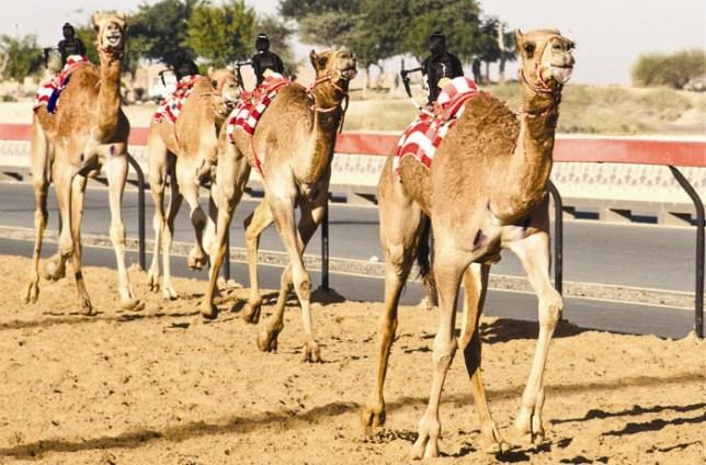 camel_main