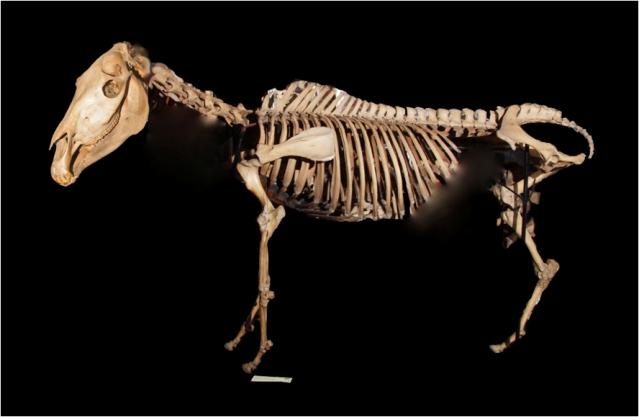 LDUCZ-Z581_IMG1 - Equus_quagga_quagga-skeleton