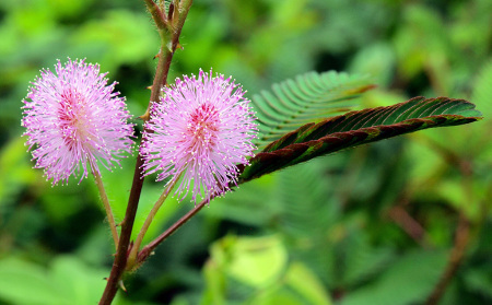 mimosa pudica 1024w