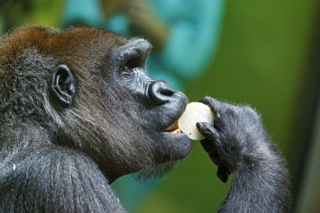 gorilla eating_Tambako_8164835802_c4b43fd2fb_k_1024w