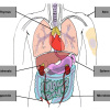 Body_diagram_with_labels_1024w