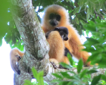 Hainan gibbon female with infant (c) Jessica Bryant ZSL cropped1_1024w