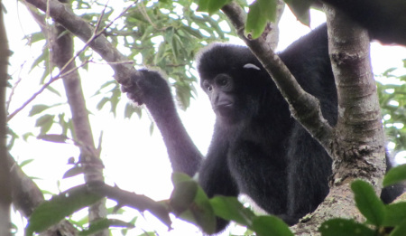 Hainan gibbon male 2 (c) Jessica Bryant ZSL_cropped_1024w