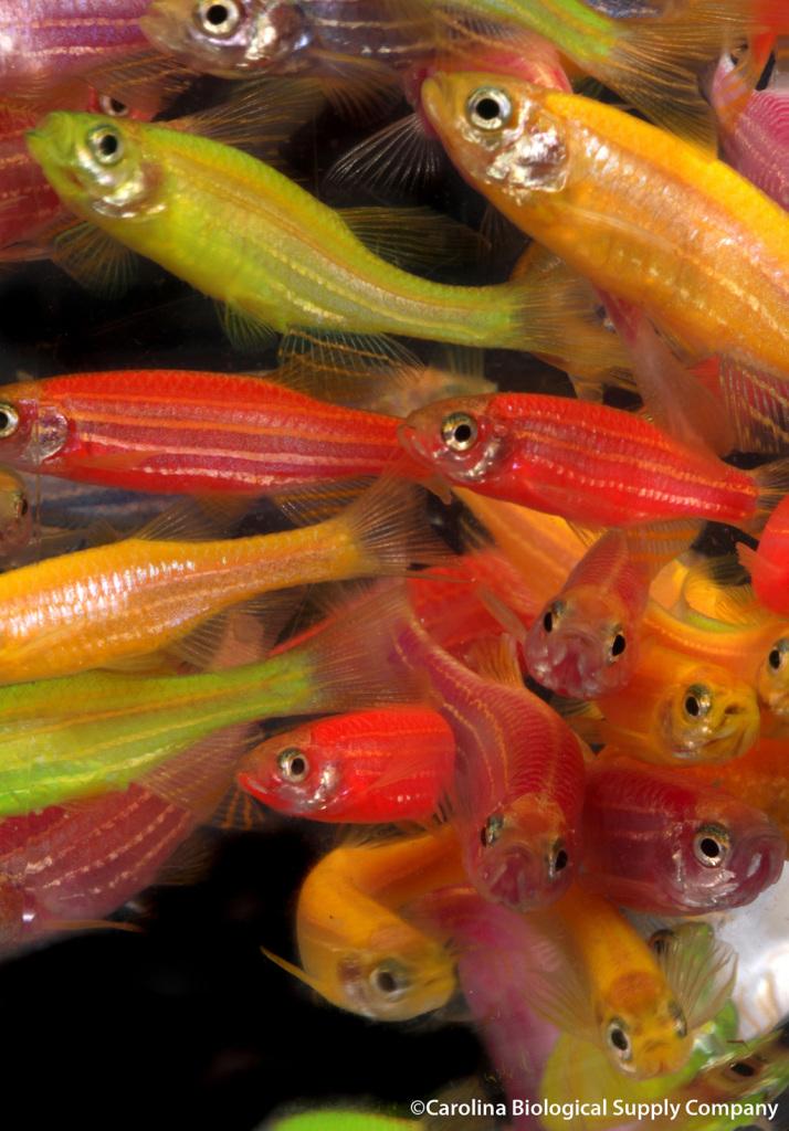 glofish flickr 12328861493_3d56c7085c_k1024w
