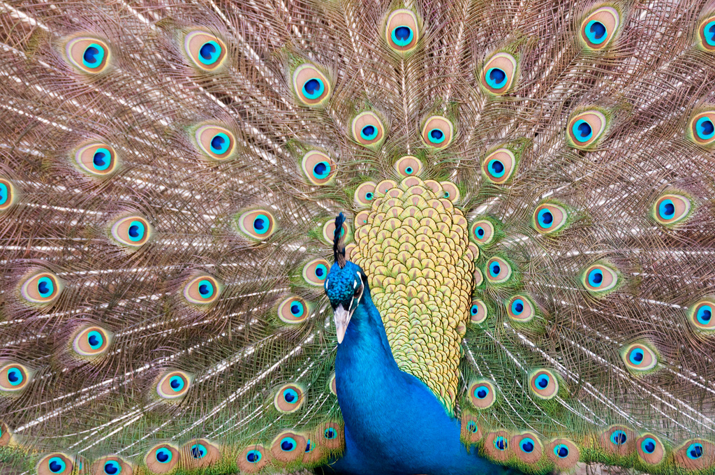 peacock eric kilby 4512923662_b860b92524_b