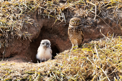 Tricky customer: a burrowing owl (Athene cunicularia)