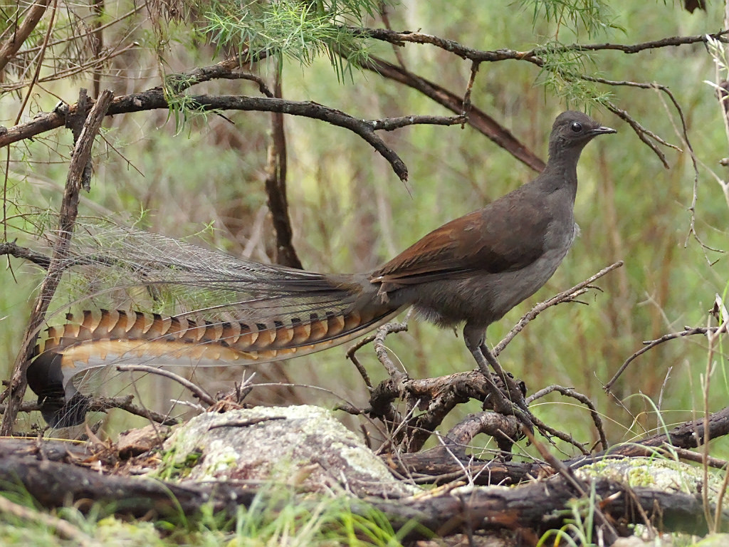 David Attenborough: The Amazing Lyre Bird Sings Like a Chainsaw ...