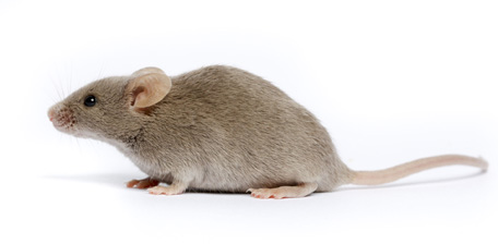DBA/2J, Stock Number 000671, D2, D2J, dilute brown laboratory mouse, inbred strain, Tier 1